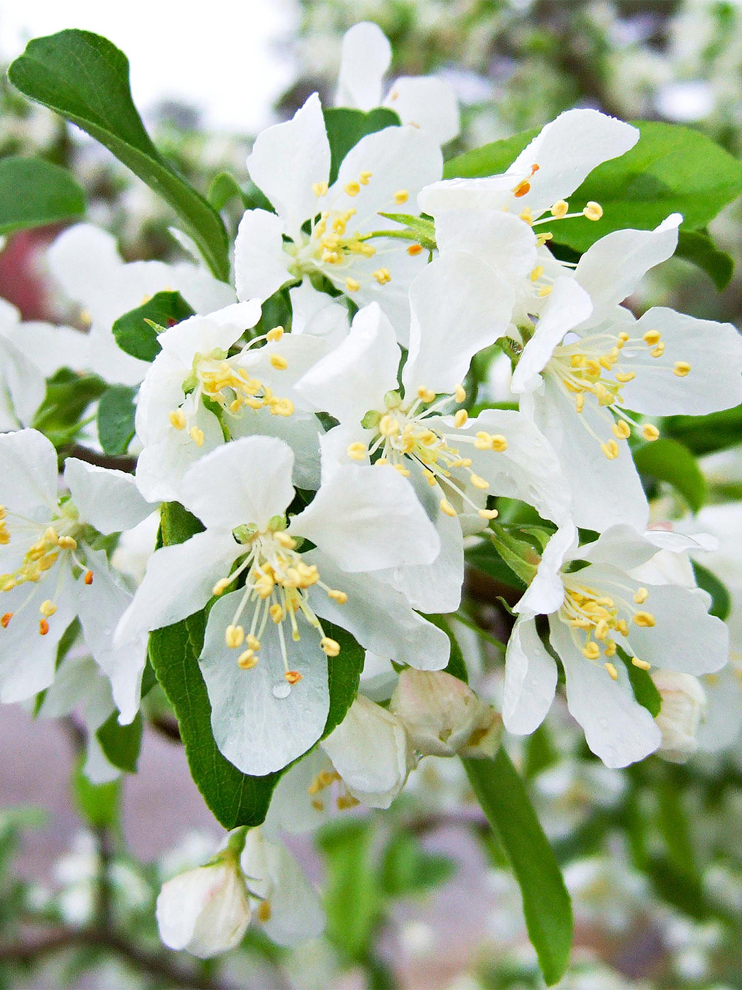 Red Jewel crabapple blooms white and yellow flowers