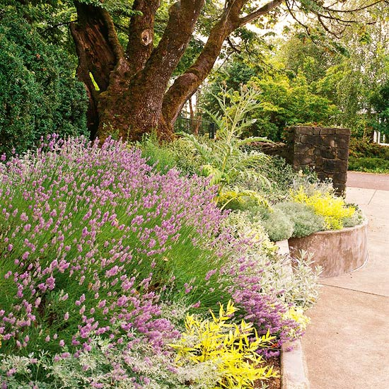 Lavender_Purple Lavendar With Yellow Plants Along Paved Walkway