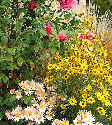 Roses, yellow daisies, and Sheffield mums in Test Garden