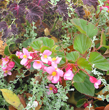 Begonia and coleus in the Test Garden