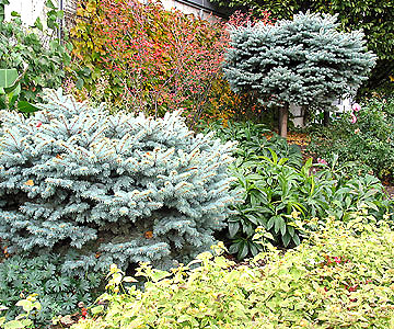Evergreens in the Test Garden in fall