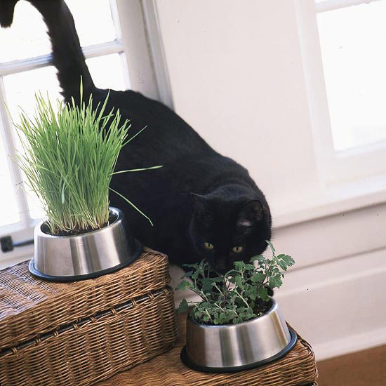 Black Cat Sniffing Herbs