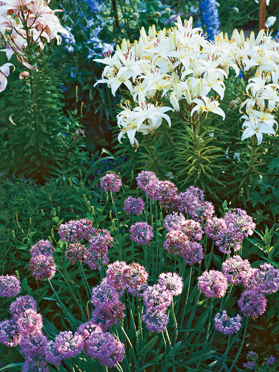 Lavender_Round Clustered Purple Flowers With White Wild Lilies