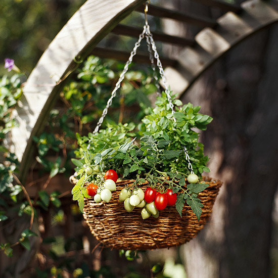 tomato in hanging basket