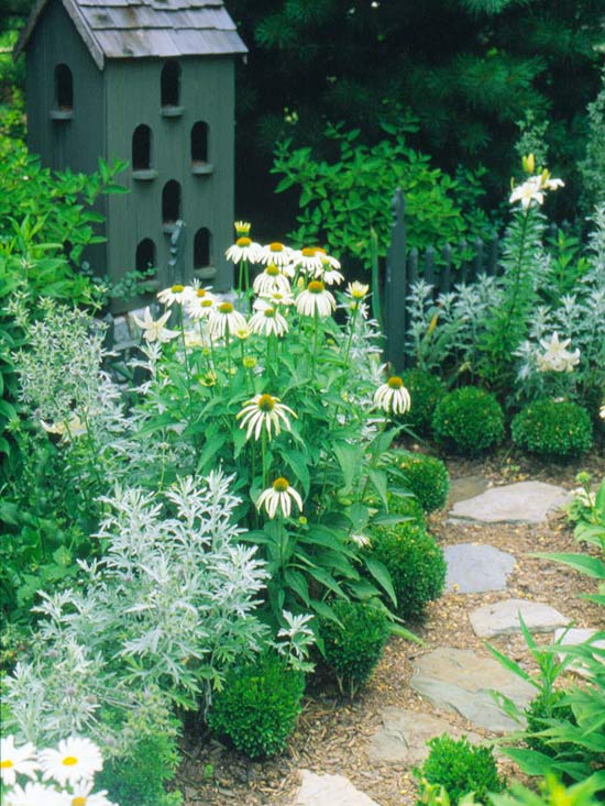 Silver_Tall White Daisies With Silvery Bush Along Stone Walkway