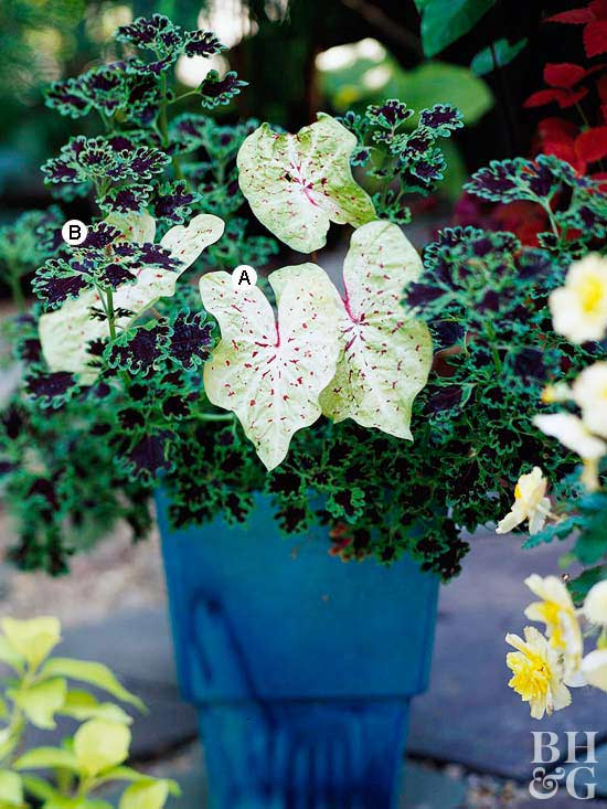 simple and dramatic container with caladium and coleus