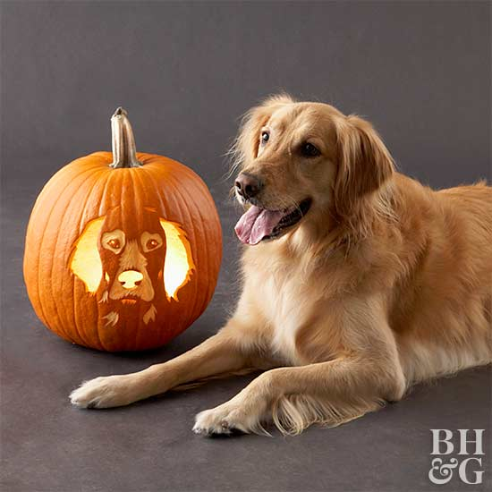 golden retriever with carved pumpkin