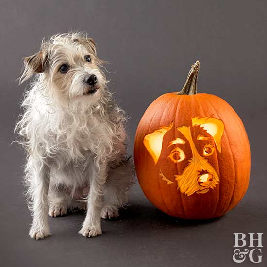 jack russell terrier with carved pumpkin