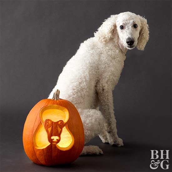 poodle with carved pumpkin