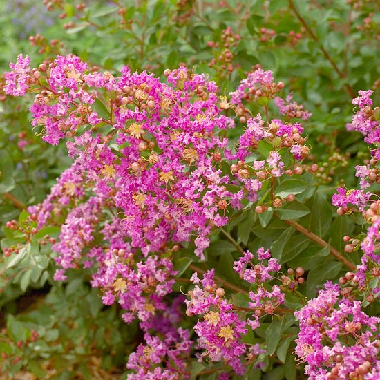 Best Flowering Shrubs For Hedges Better Homes Gardens