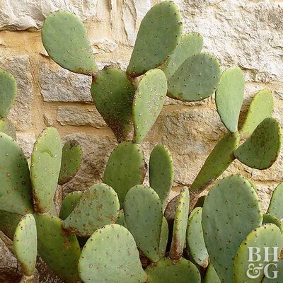 Prickly Pear Cactus Better Homes Gardens