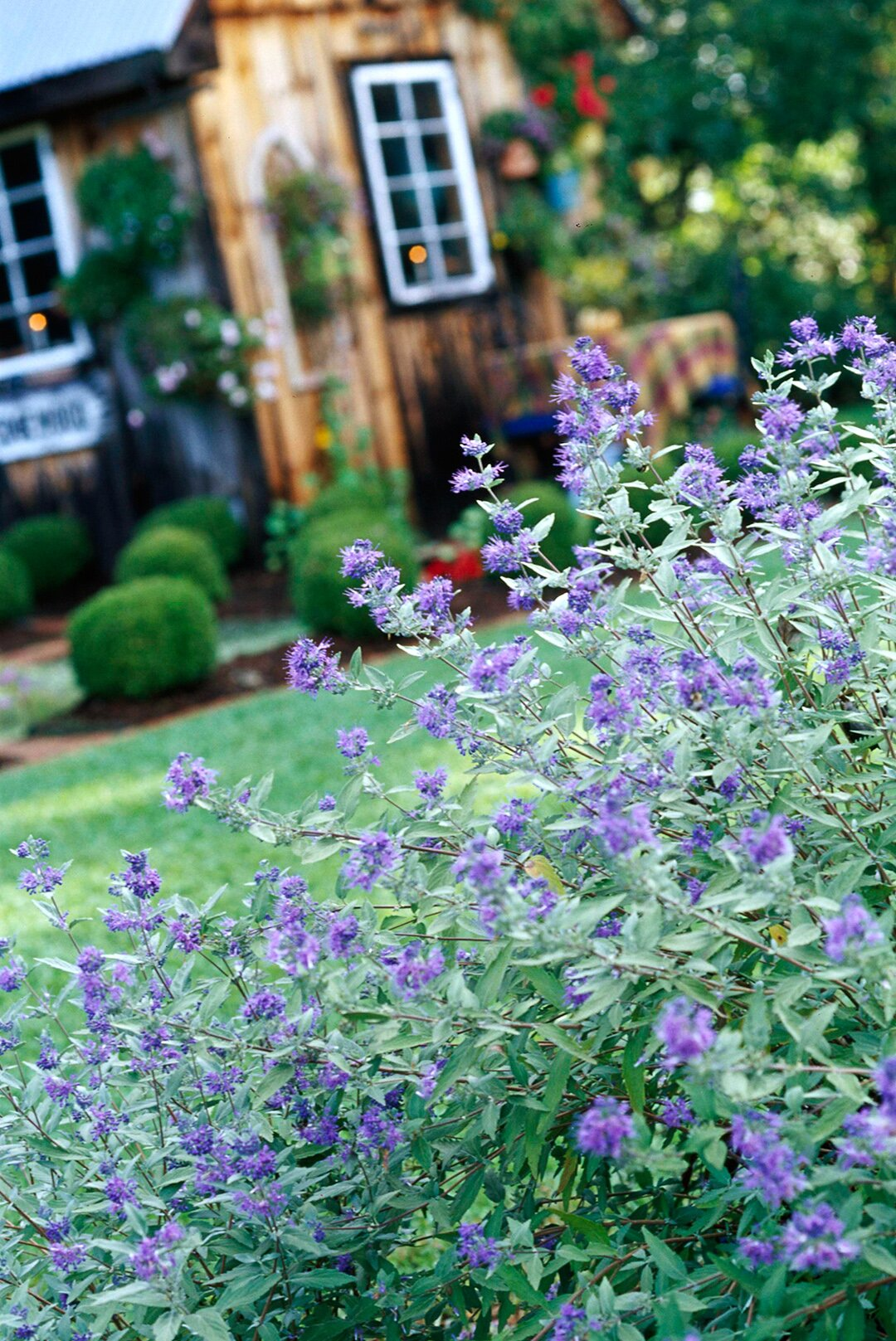 The Top 13 Summer Flowering Shrubs That Don T Need A Lot Of Work