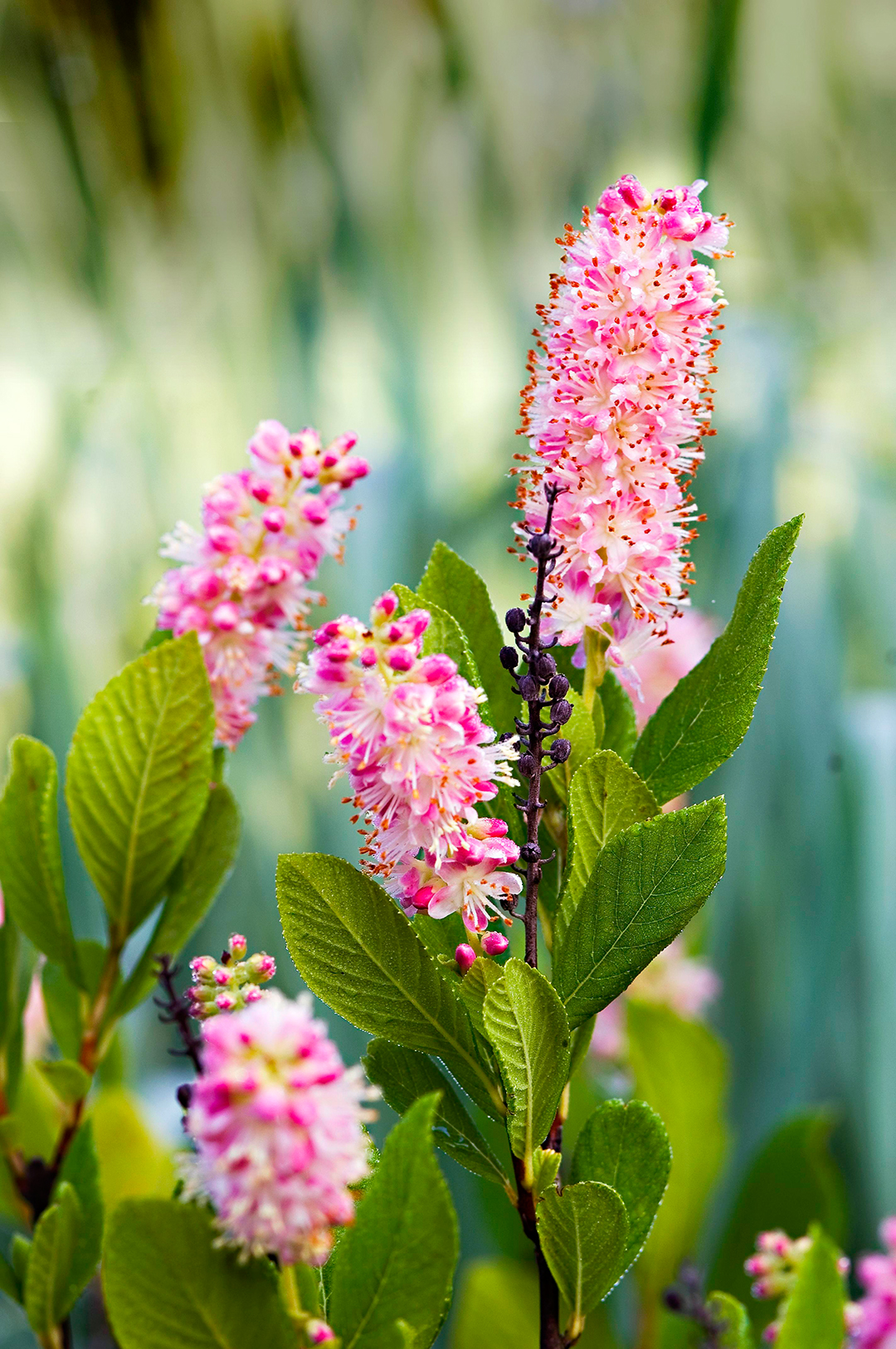 The 13 Best Summer Blooming Shrubs For Your Garden Better Homes