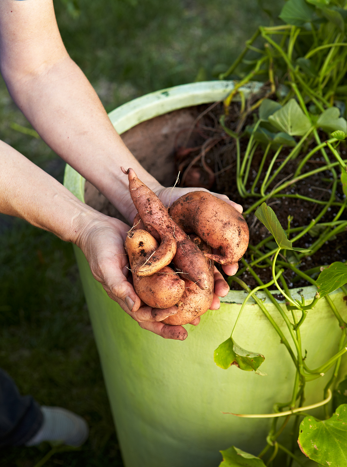 woman holding sweet potatoes above bright green planter