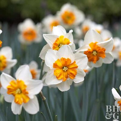 More Interesting Than Food Narcissus >> Daffodil Split Cup Hybrids Better Homes Gardens