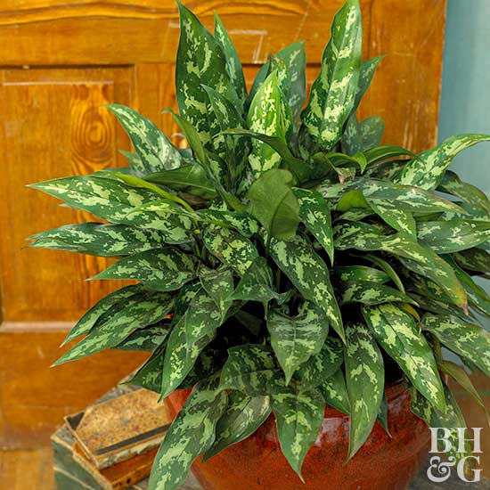 Chinese Evergreen Aglaonema commutatum