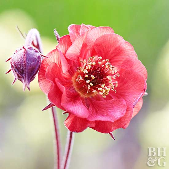 Geum 'Red Wings' Avens