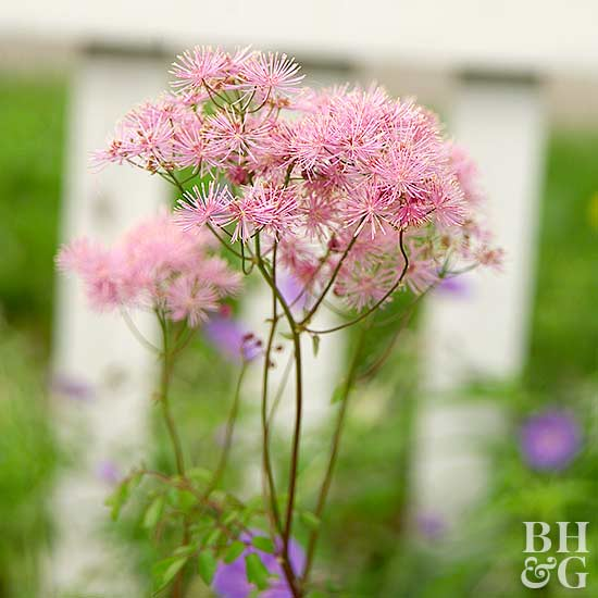 Meadow Rue Thalictrum spp.