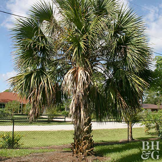 Palmetto Palm Tree Sabal_ spp.