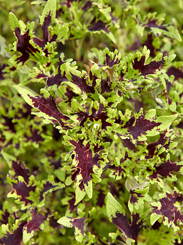 Black Lace coleus