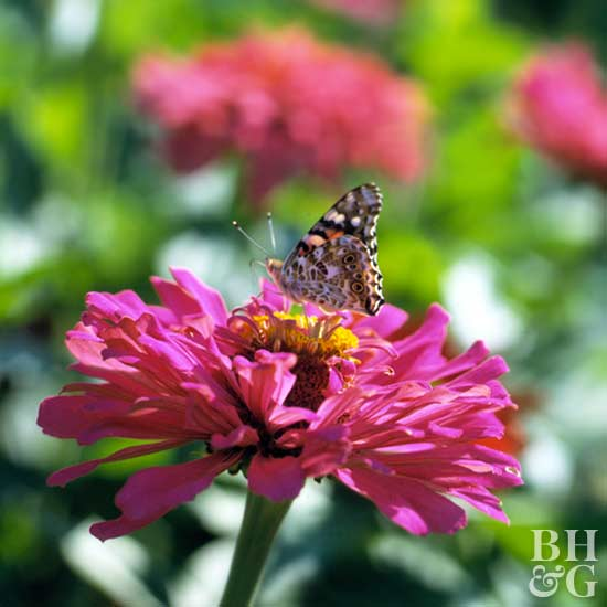 Zinnia, Plant, Butterfly, Insect,