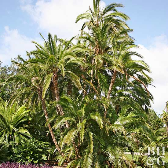 Senegal date palm,