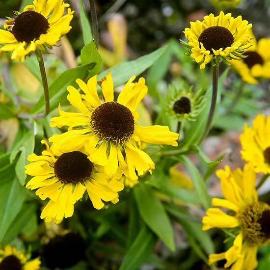 cluster of yellow black-eyed susan blooms