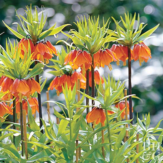 Crown imperial Fritillaria imperialis