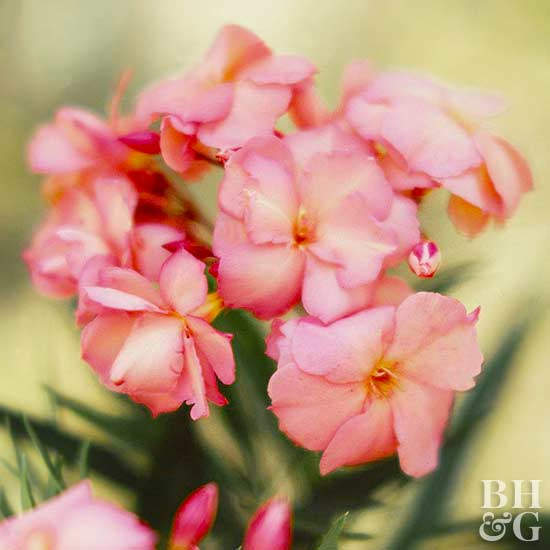Nerium 'Mrs. Lucille Hutchings', oleander, Nerium oleander, Plant Finder, Shrub, Shrubbery,