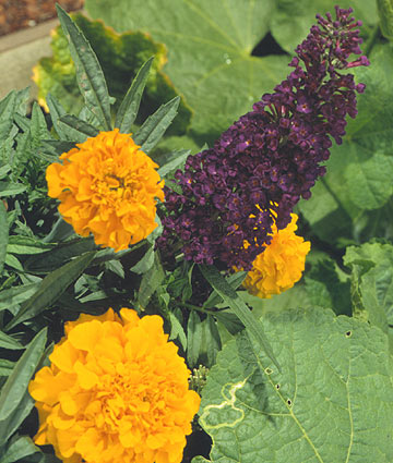 Buddleia davidii 'Black Knight' amd Tagetes 'Yellow Gold'