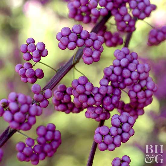 Purple Beautyberry Callicarpa dichotoma 'Issai'