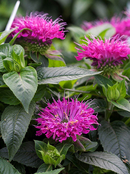 Monarda 'Pardon My Purple'
