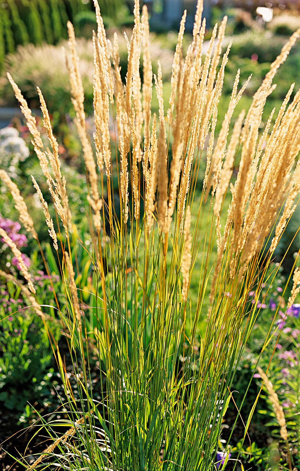 23 Top Ornamental Grasses