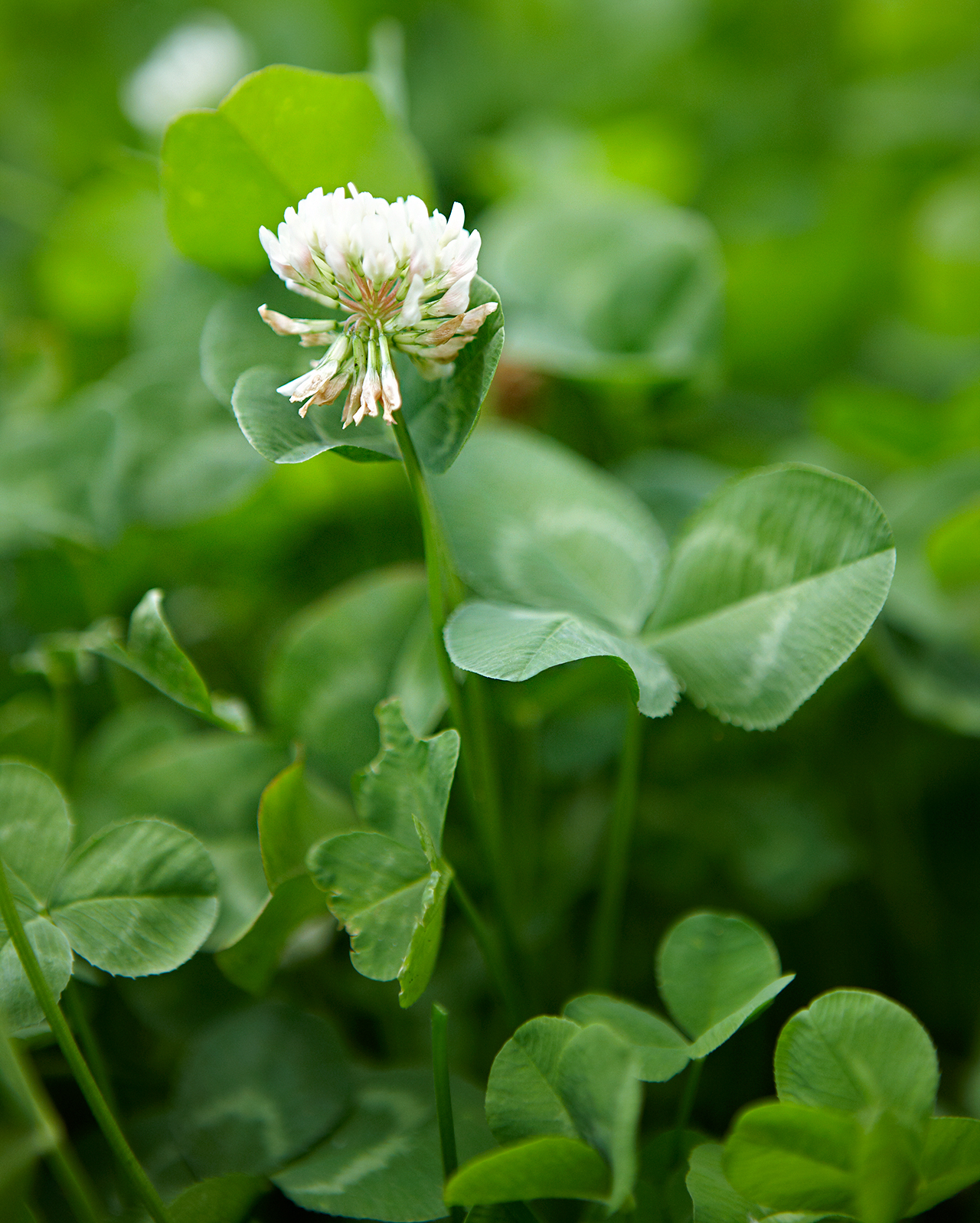 detail of white clover weed and flower head