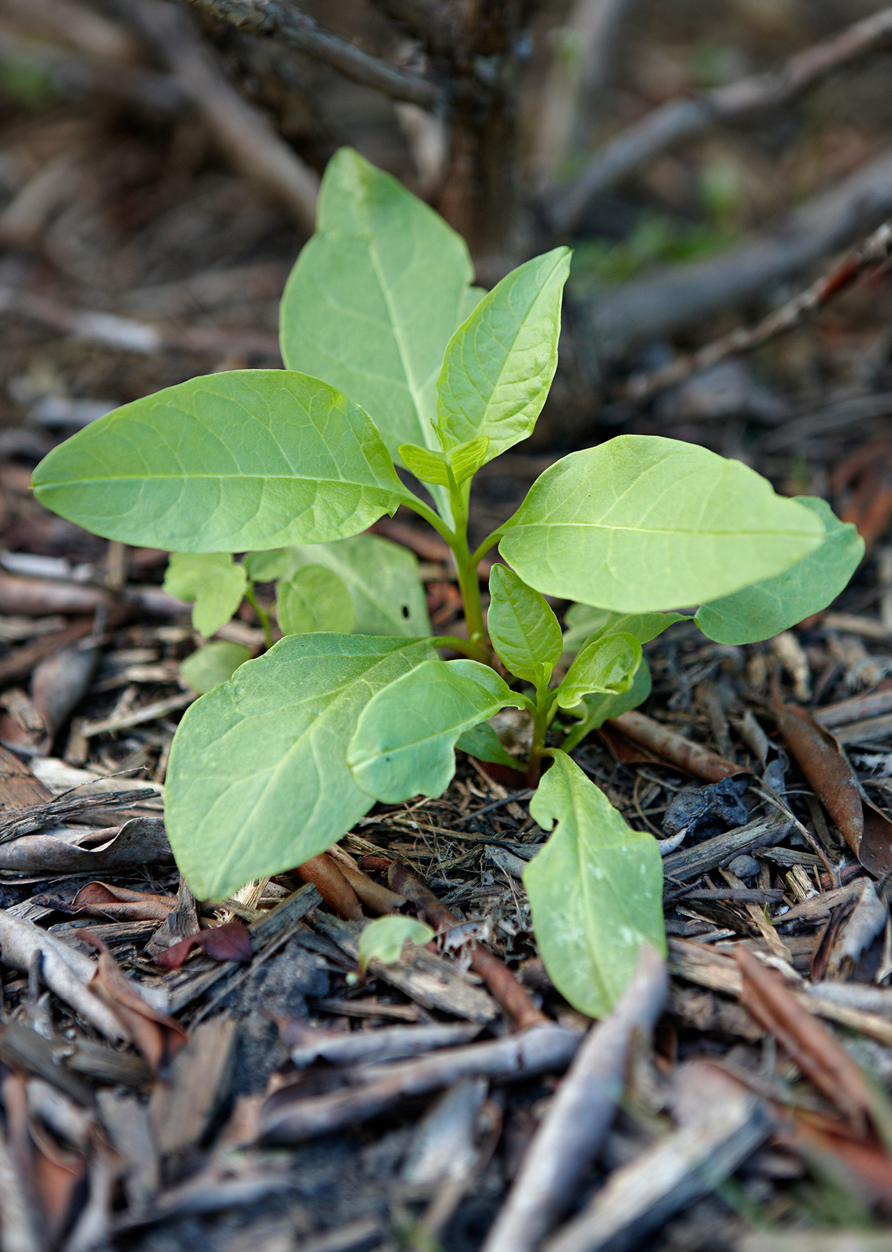 detail of pokeweed emerging from dirt