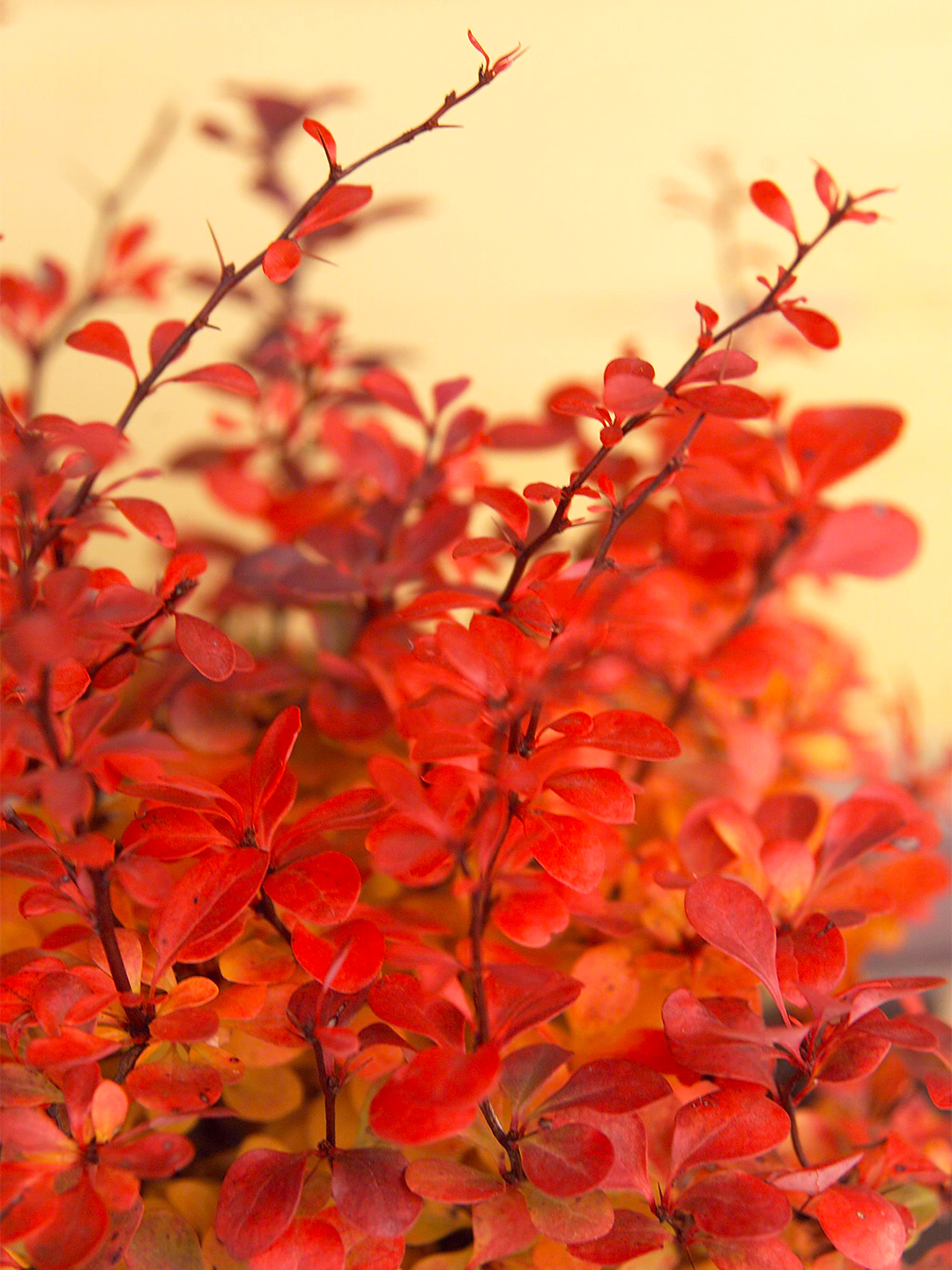 Japanese barberry plant with thorns