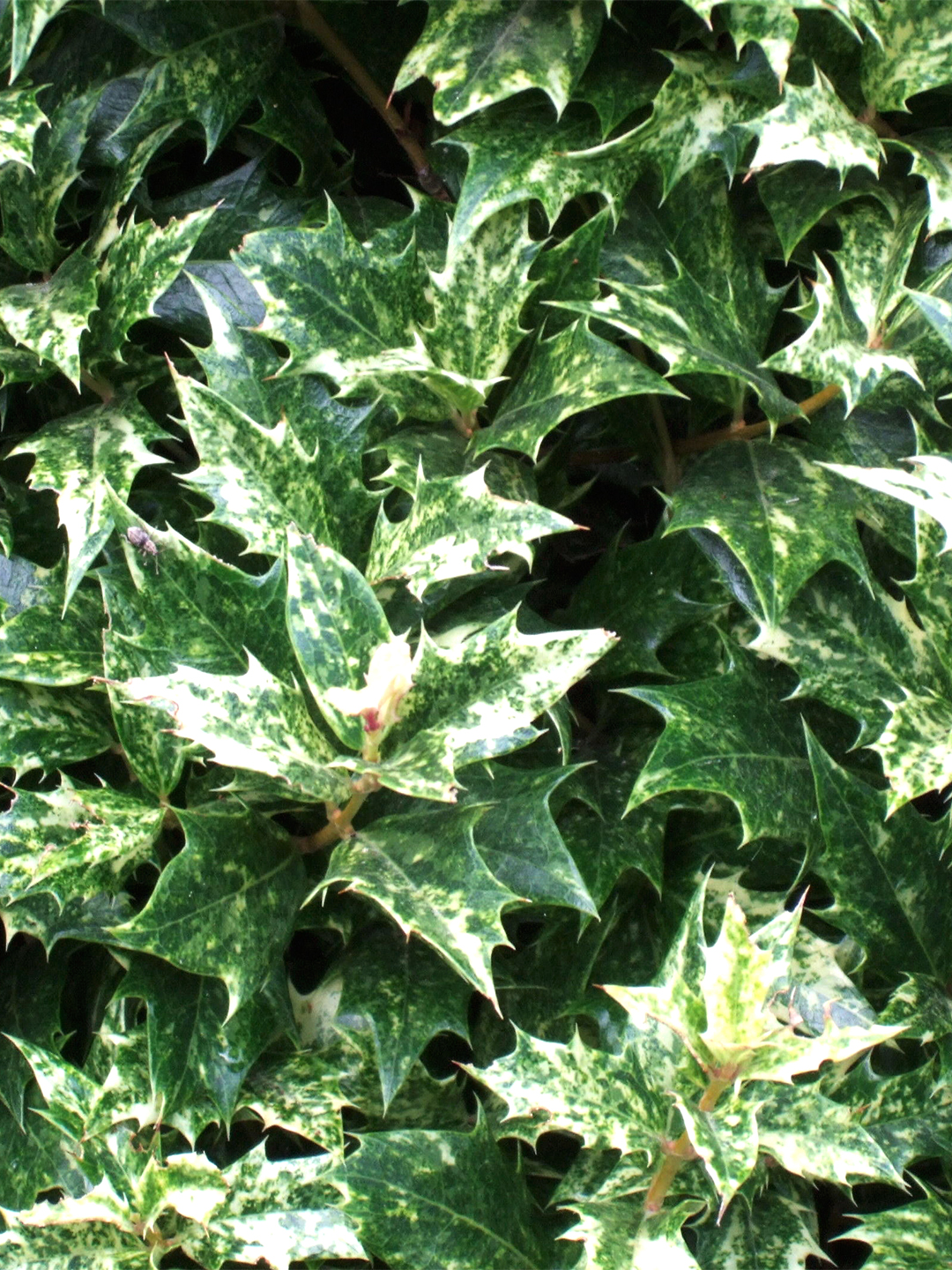 Goshiki variegated false holly prickly leaves