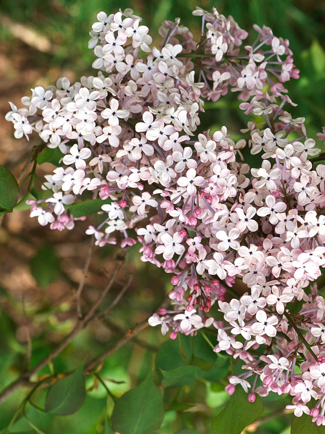 Dwarf Korean lilac with light pink flowers