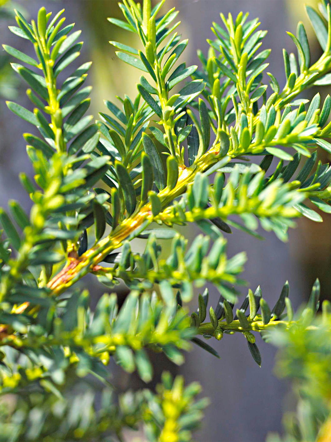 Japanese hybrid yew against gray-blue background