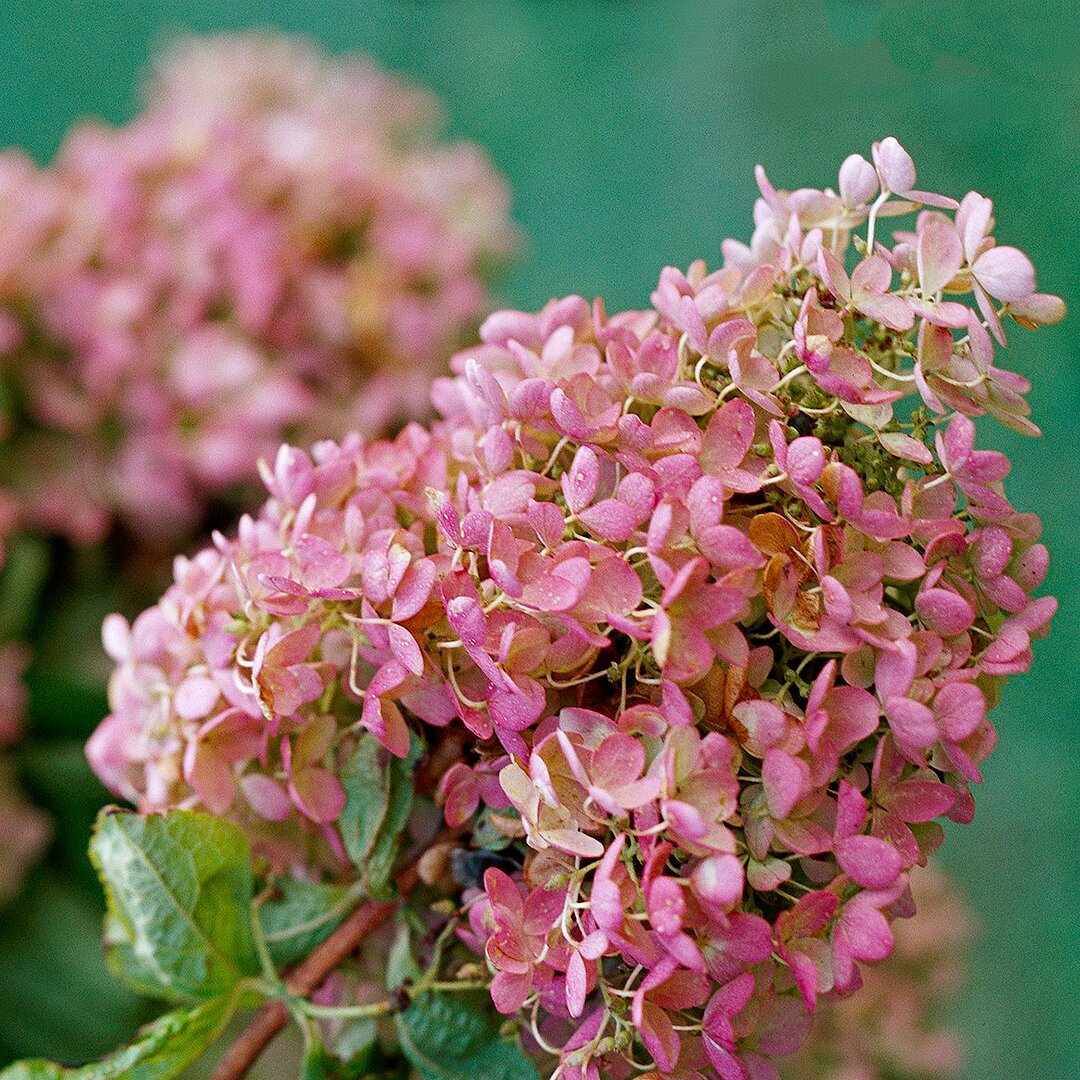 close-up of pink hydrangea cluster