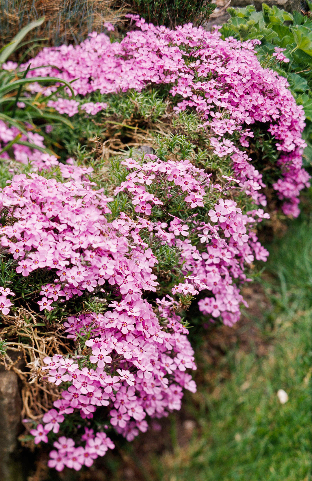 26 Amazing Perennial Varieties for Your Garden on plants house plants, shade house plants, organic house plants, grass house plants, alpine house plants, greenhouse house plants, seasonal house plants, horticulture house plants, fast growing house plants, pruning house plants, fragrant house plants, hydrangea house plants, cutting house plants, sunflower house plants, rhizomes house plants, blue house plants, fruit house plants, forest house plants, shrub house plants, permanent house plants,