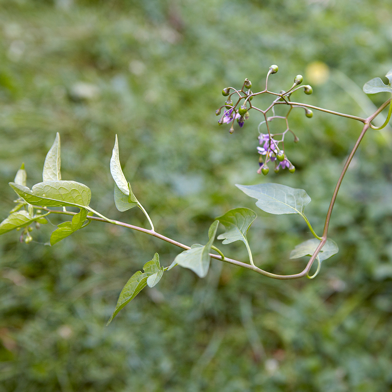 detail of black nightshade broadleaf weed
