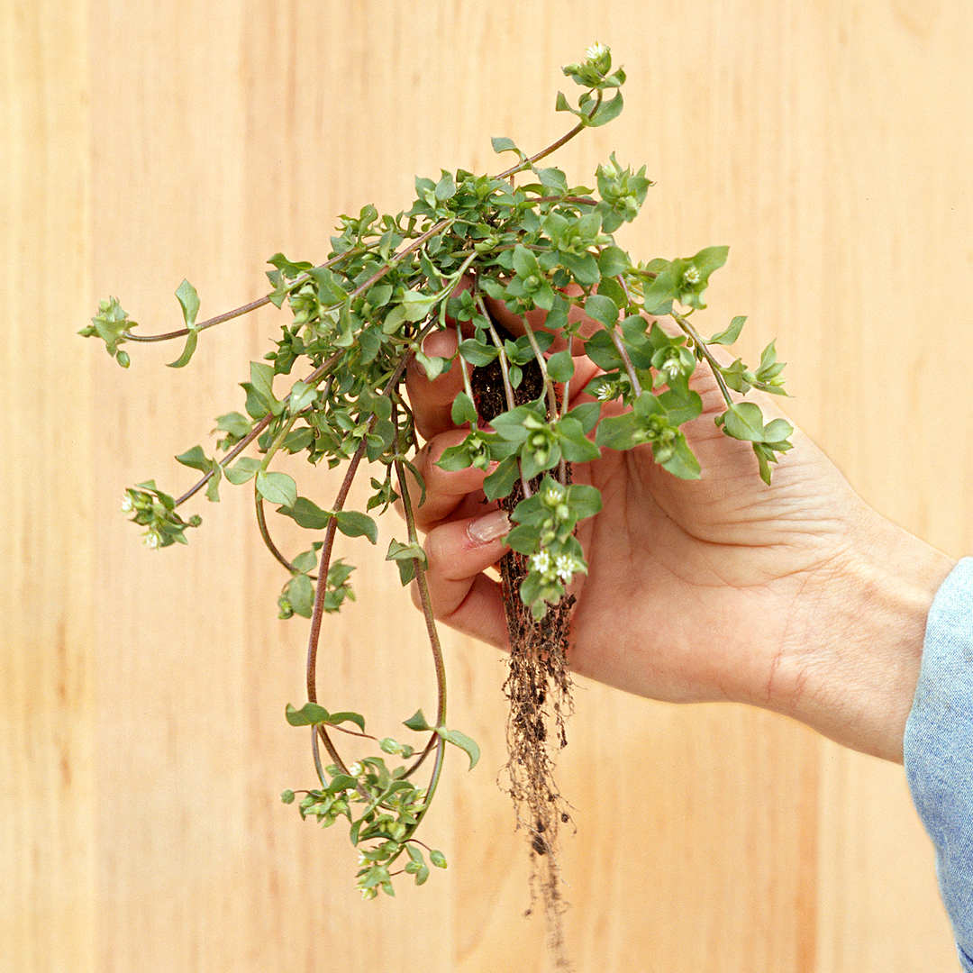 hand holding uprooted chickweed plant