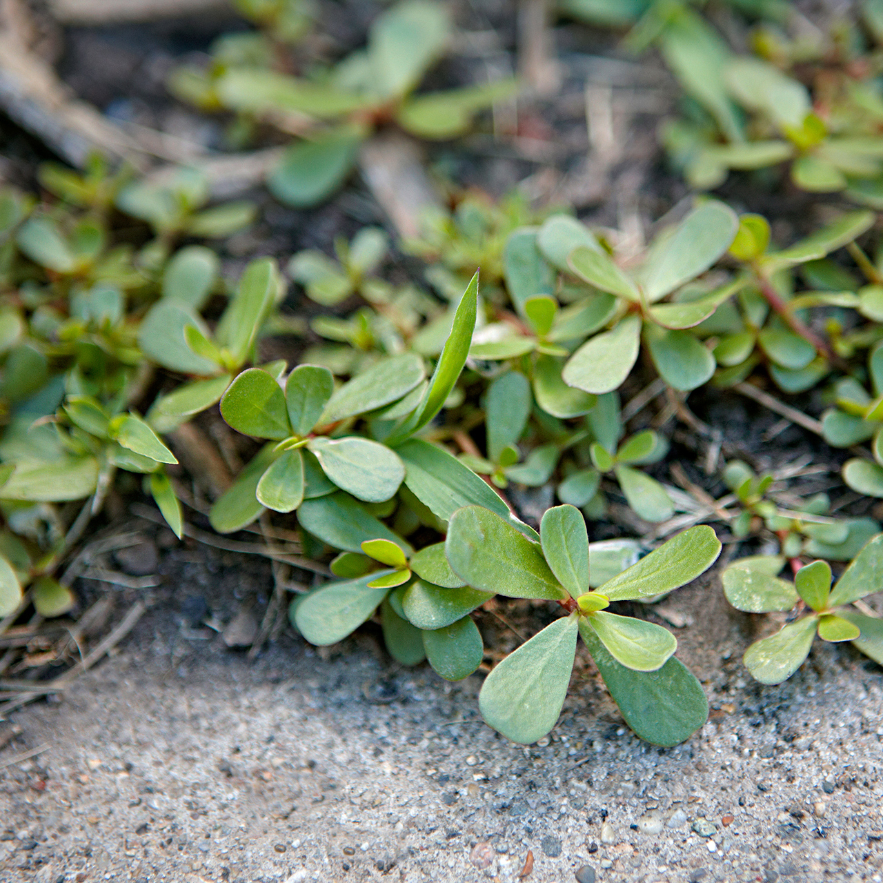 detail of purslane groundcover weed