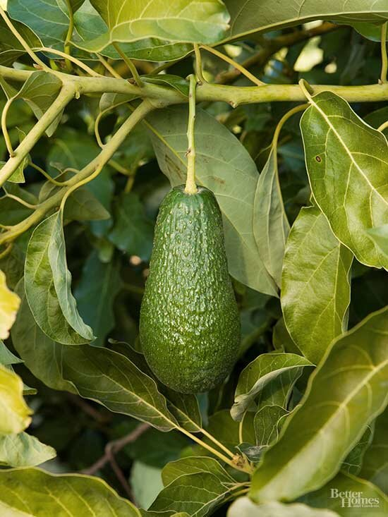 How To Grow An Avocado Tree You May Never Make Guacamole