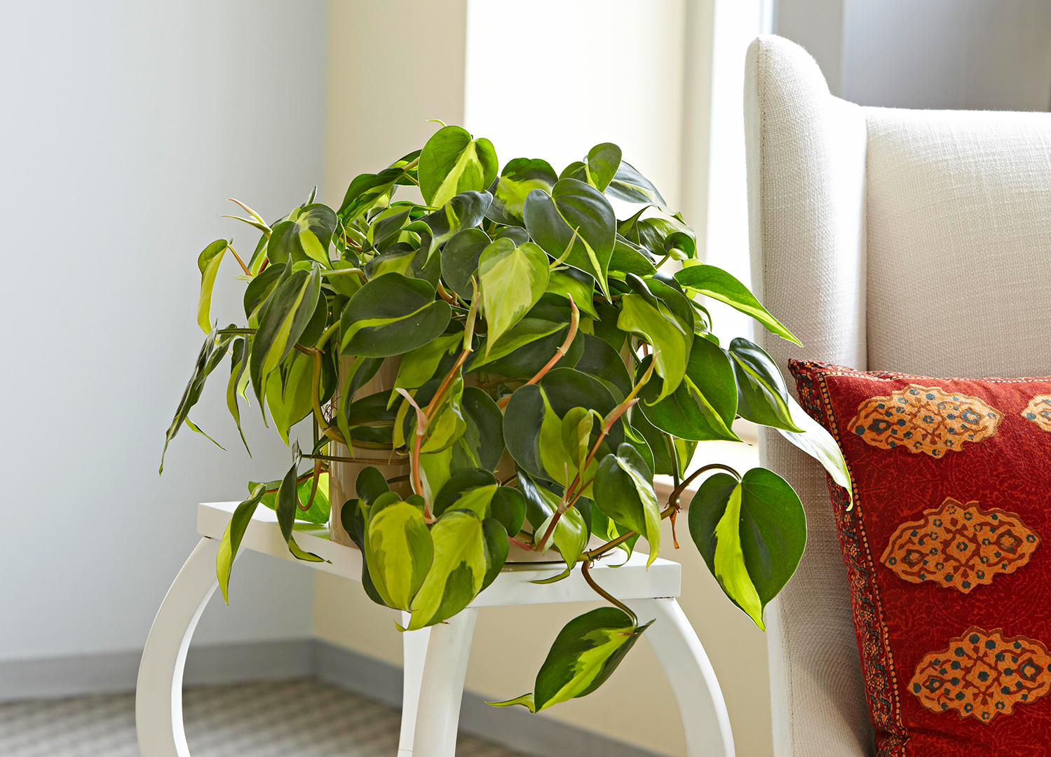 Heartleaf Philodendron on white table in living room