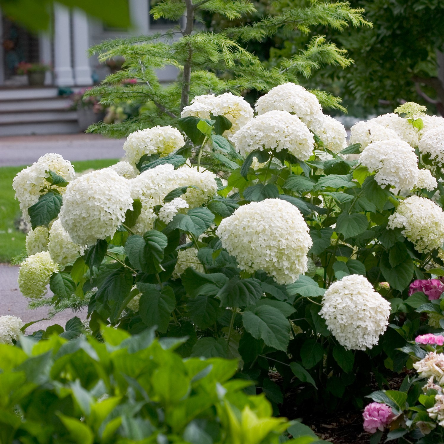 Incrediball hydrangea with huge spherical white flower heads