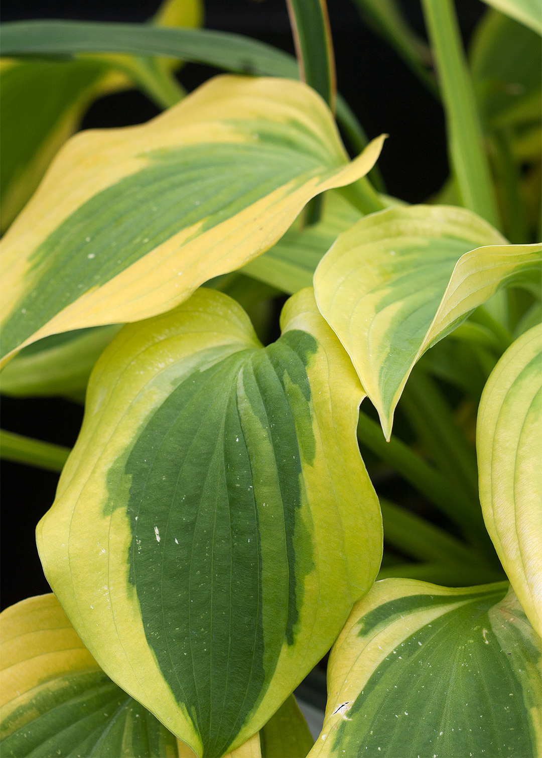 green leaves hosta shade test garden