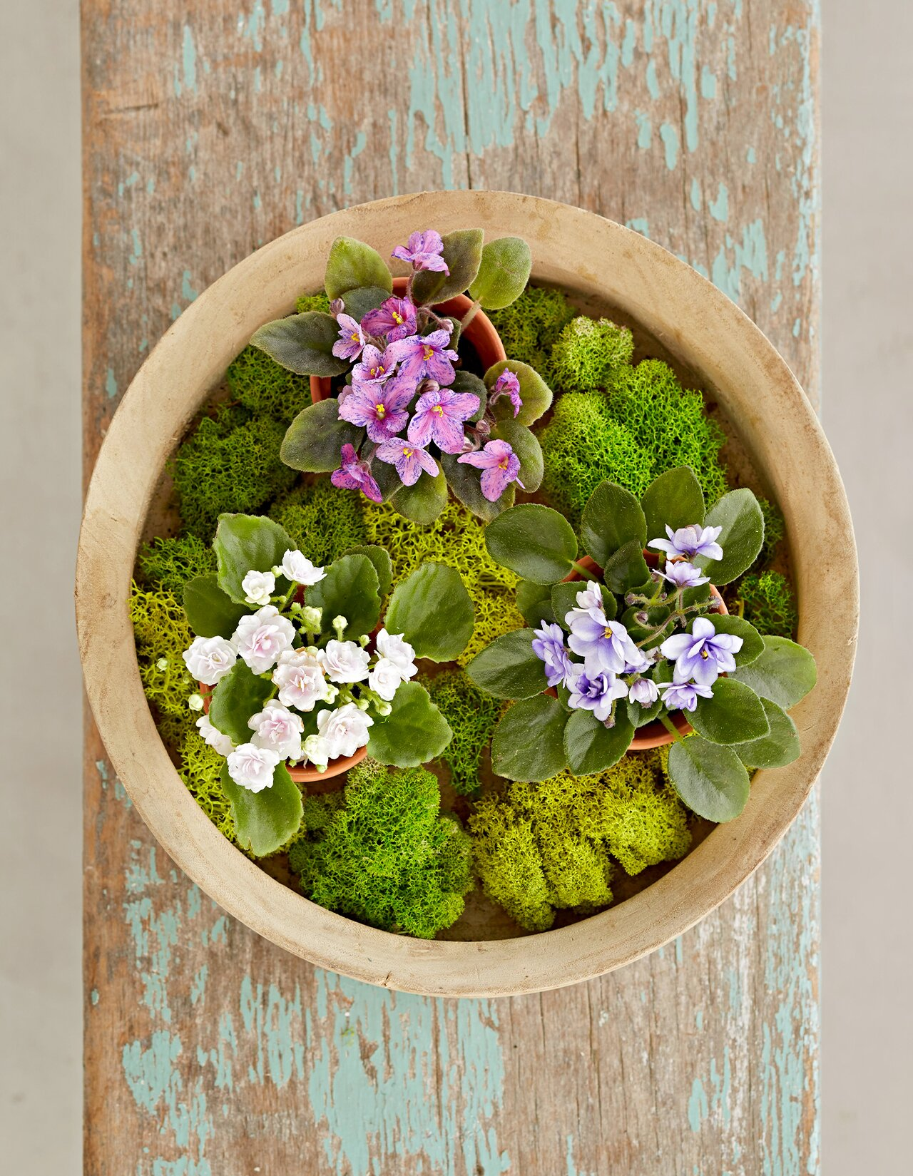 african violet and moss in planter birds-eye view