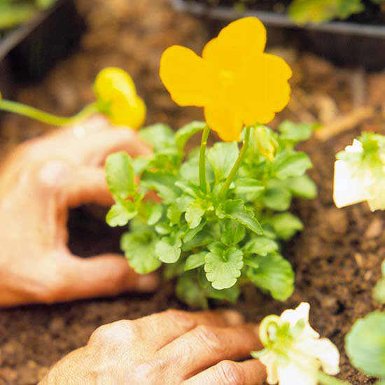 Planting A Yellow Pansy